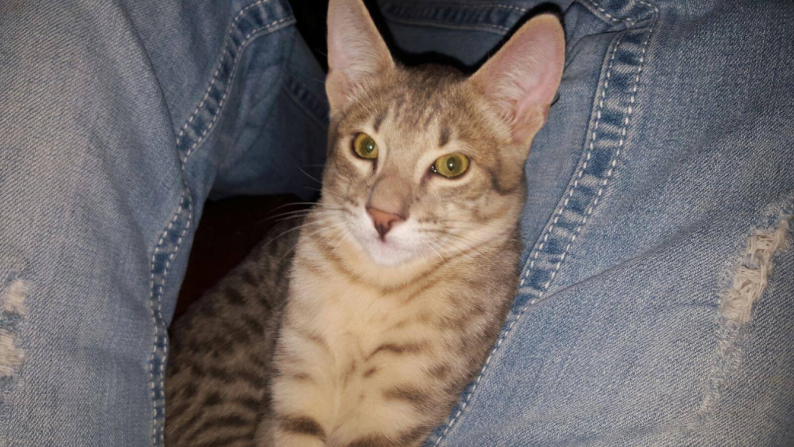 Akashikats Blu-a-licious F6b Savannah Cat